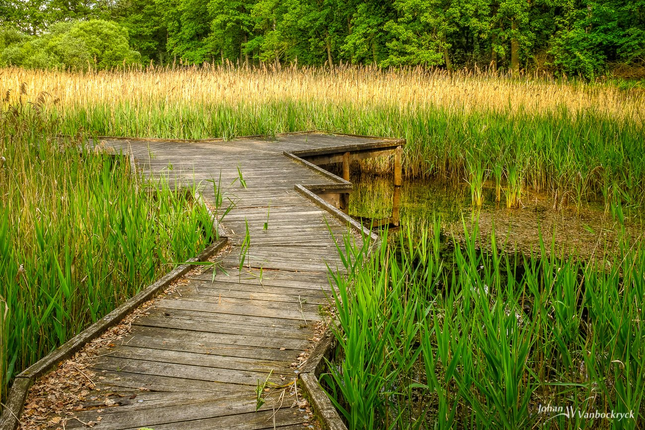 A pier into a pond that's filled with reeds in Bokrijk, Genk, Belgium