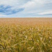 A wheat field under a cloudy sky