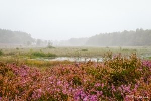 Heather in bloom on a misty day near the fen of nature reserve De Teut in Zonhoven, Belgium