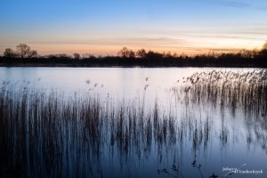 Reed in the water of the large pond of nature reserve De Platwijers in Zonhoven, Belgium during sunset