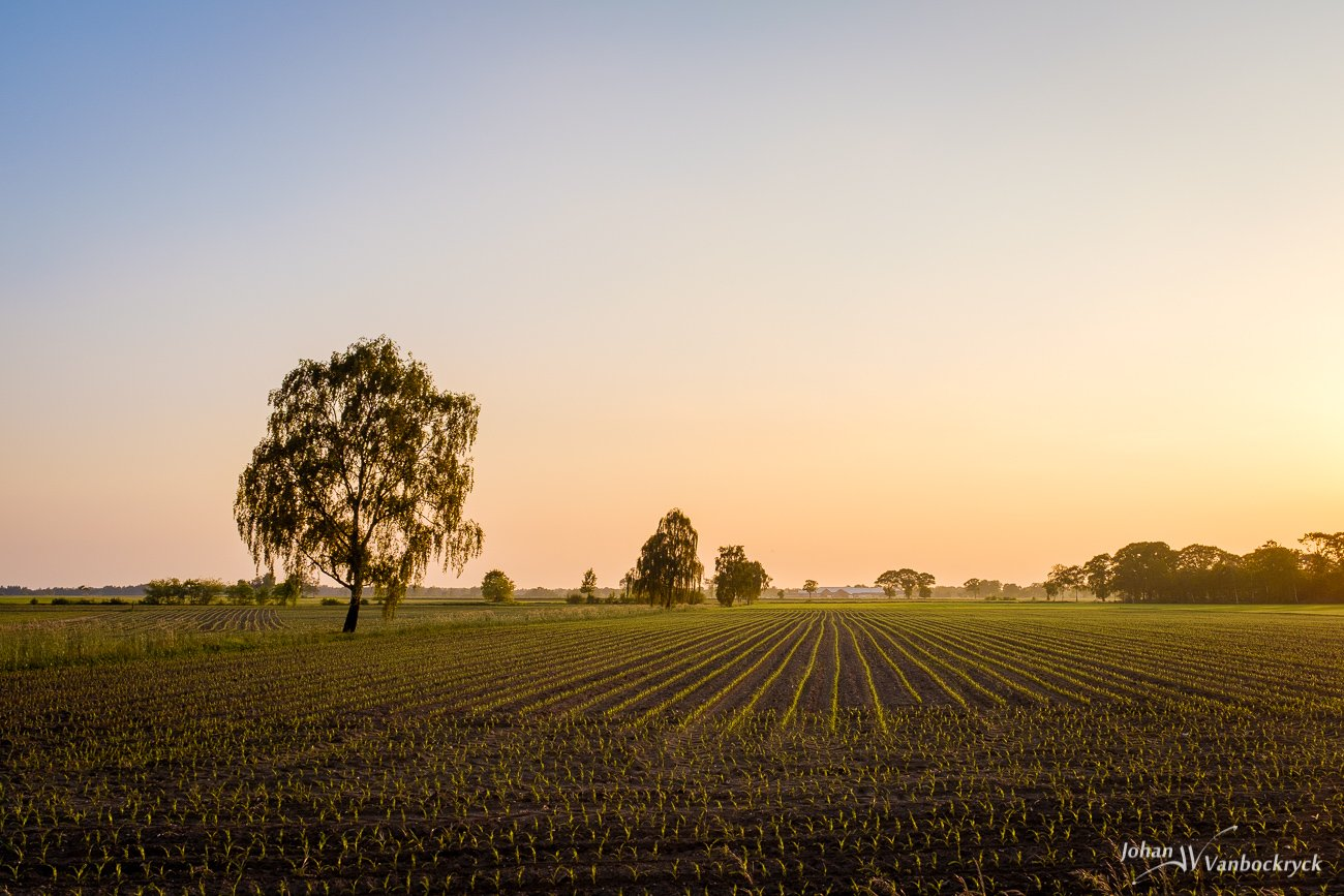 The rows of young crops on a field during sunset in Peer, Belgium