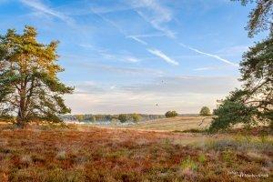 Pine trees in the heather of nature reserve De Teut in Zonhoven, Belgium