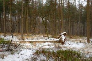 A snow covered fallen tree in a pine forest in Kelchterhoef, Houthalen-Helchteren, Belgium
