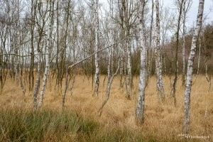 A group of birch trees in nature reserve De Teut in Zonhoven, Belgium
