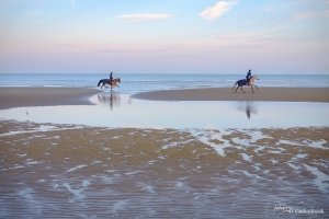 Two horses running on the beach of Koksijde, Belgium during early morning