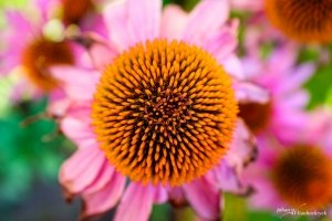 A close-up of a red coneflower