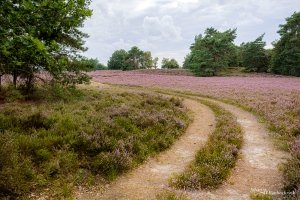 A path among the heather in boom in nature reserve Tenhaagdoornheide in Houthalen-Helchteren, Belgium
