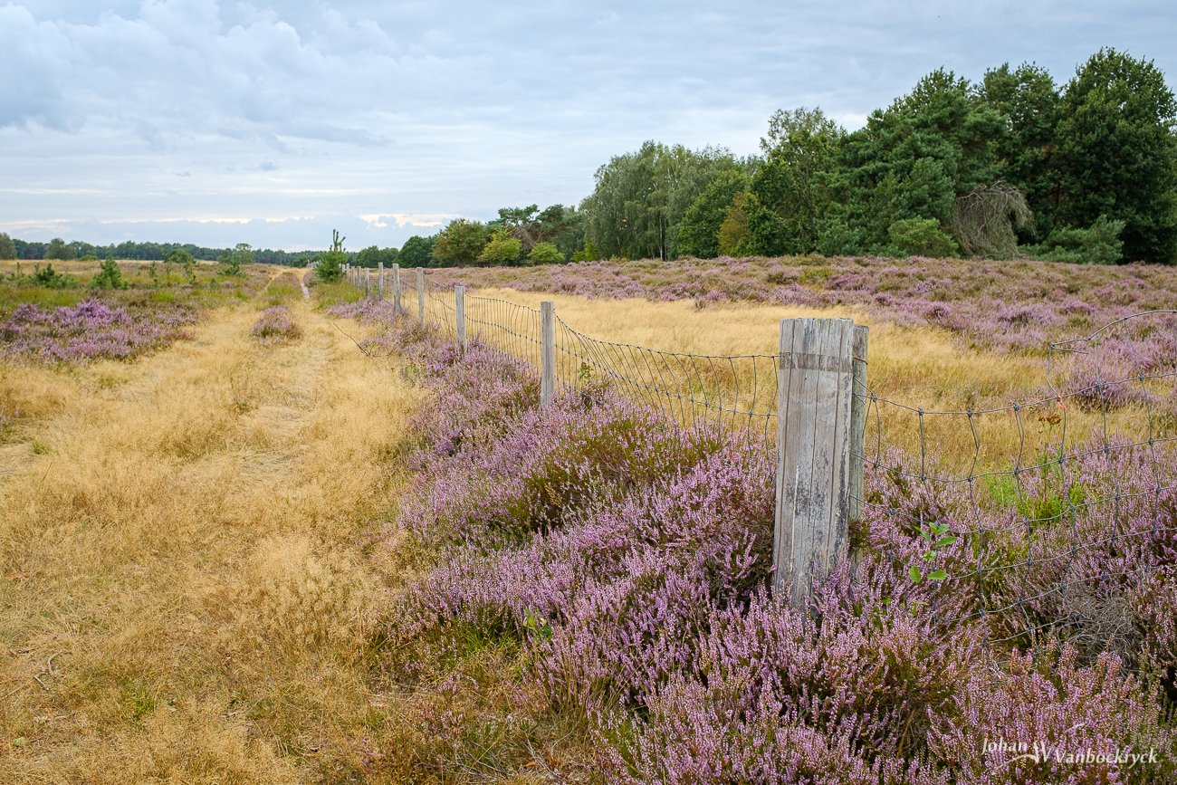 Heather in bloom at the edge of a field in nature reserve Tenhaagdoornheide in Houthalen-Helchteren, Belgium