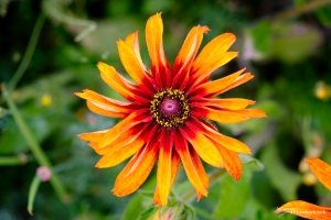 A close-up of a red and orange Aster flower