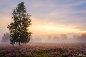 A tree amongst purple heather during sunset on a foggy evening on nature reserve Tenhaagdoornheide in Houthalen-Helchteren, Belgium