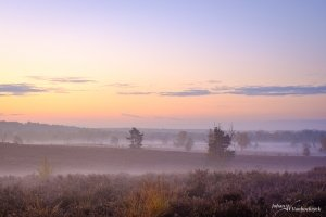 Trees and heather on nature reserve De Teut in Zonhoven, Belgium during sunrise with a low fog