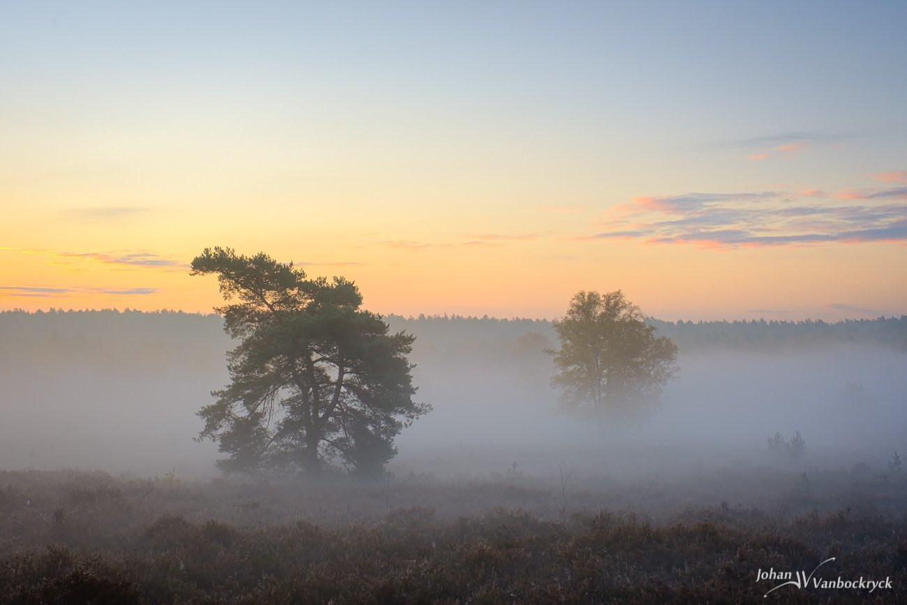 Two trees and a distent treeline in the fog during sunrise on nature reserve De Teut in Zonhoven, Belgium