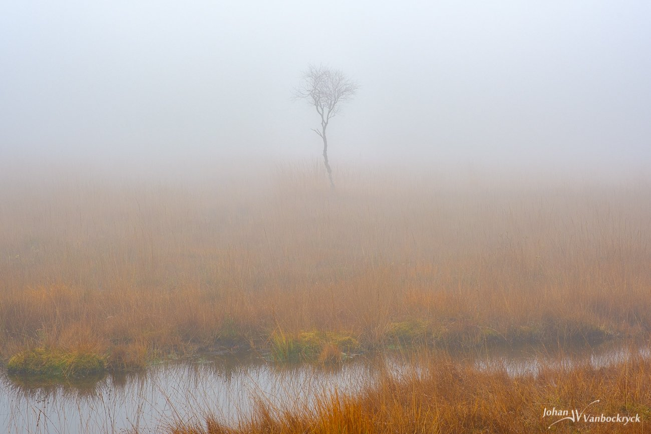 A small lone leafless tree in the bog of nature reserve De Teut in Zonhoven, Belgium on a foggy morning