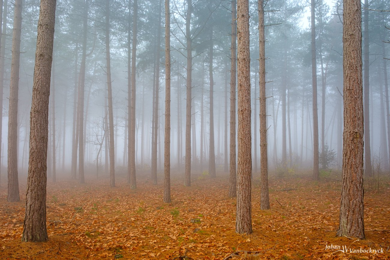 Pine trees in a foggy forest with orange autumn leaves on the ground
