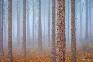 The trunks of pine trees in a foggy forest with orange autumn leaves on the ground