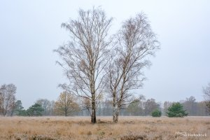 Two birch trees on a cold winter morning on nature reserve Tenhaagdoornheide in Houthalen-Helchteren, Belgium