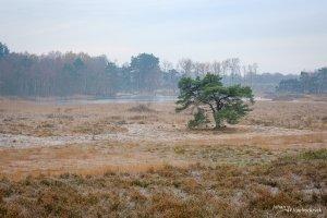 A lone pine tree near a fen on nature reserve De Teut in Zonhoven, Belgium