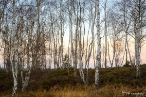 A group of birch trees on nature reserve De Teut in Zonhoven, Belgium